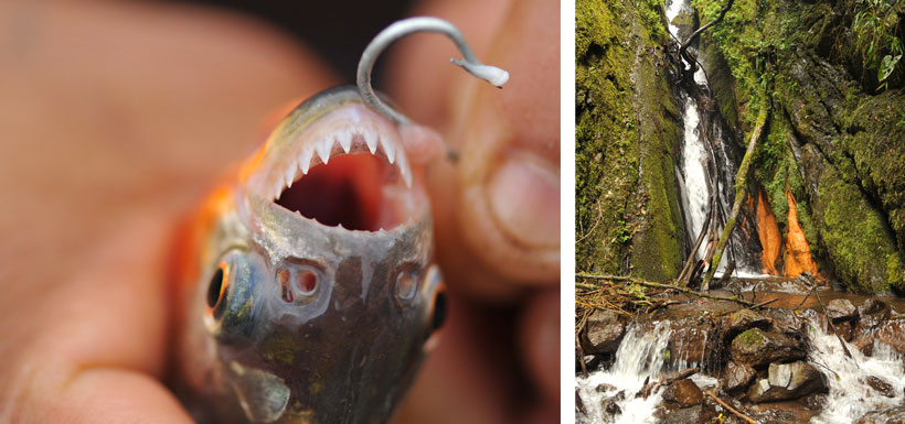 A hooked piranha and waterfall