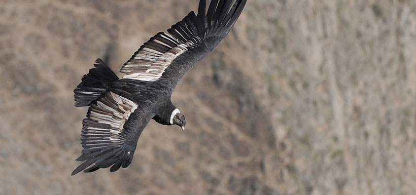 Andean condor soars over southern Peru