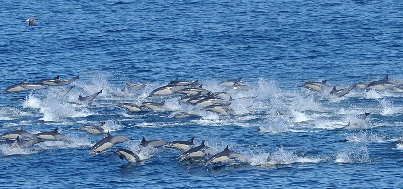 Large pod of dolphins