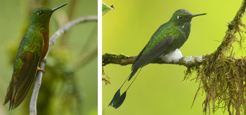green and blue hummingbirds