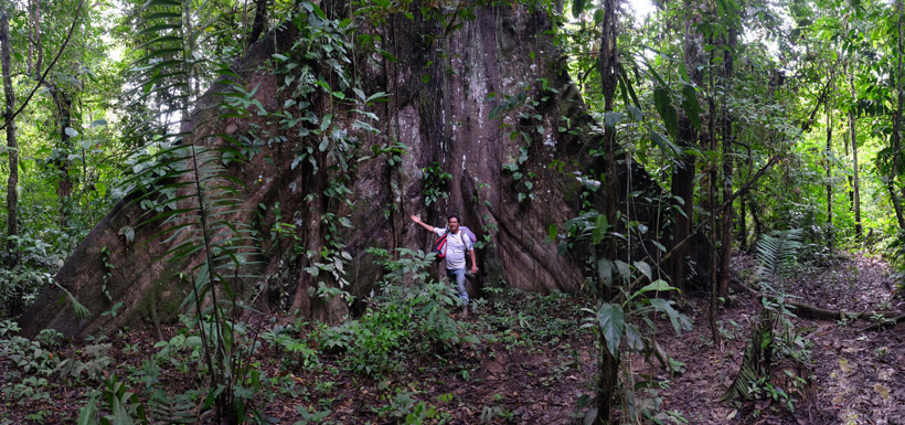 Giant Kapok Tree
