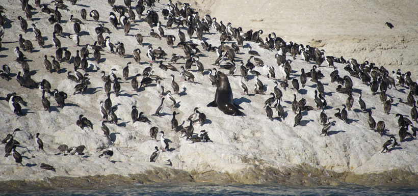 sea lion and cormorants