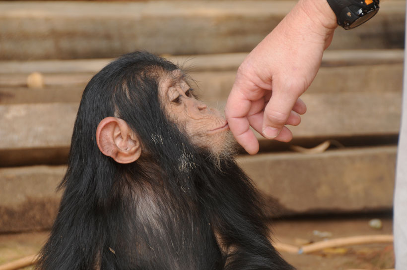 Hand touching chimp face