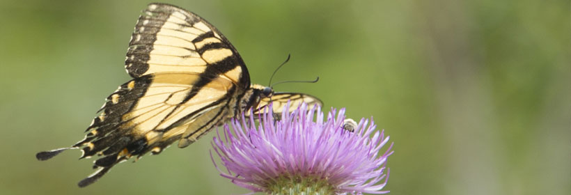 butterfly hovering above lavender thistle