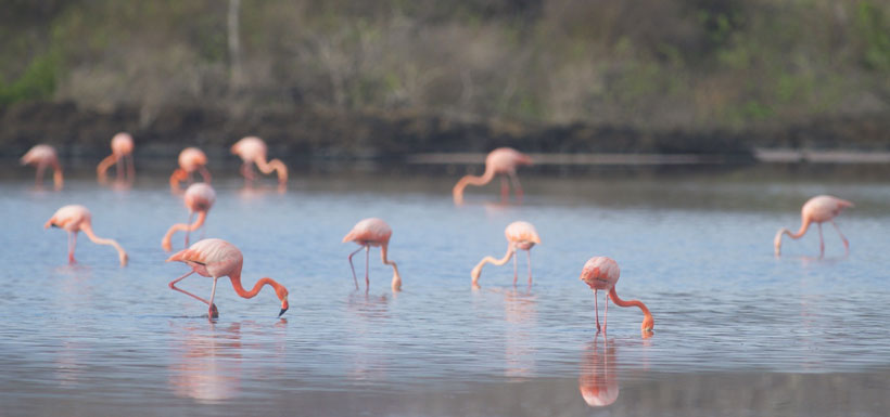group of flamingos feeding in the water