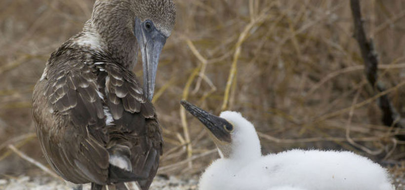 blue footed boobie with chick